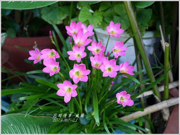 韭蘭.jpg