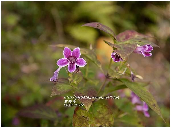 紫鶴花(變葉).jpg