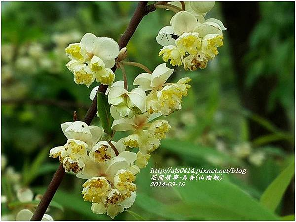 2014-03-馬告花(山胡椒)4.jpg