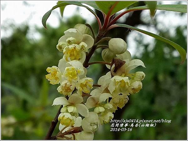 2014-03-馬告花(山胡椒)5.jpg