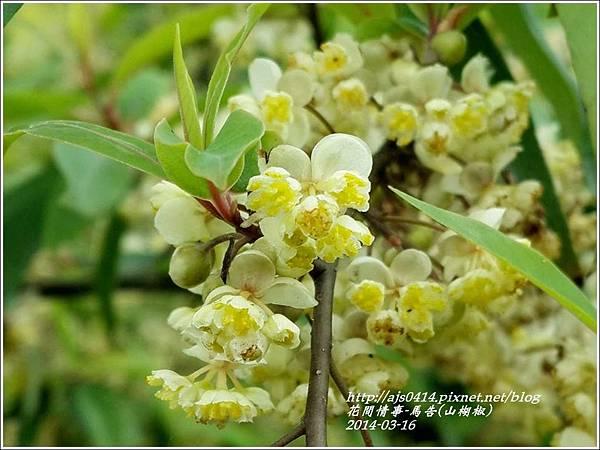 2014-03-馬告花(山胡椒)7.jpg