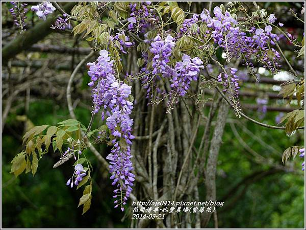2014-03-兆豐遇紫藤花17.jpg