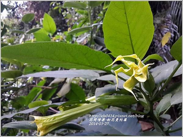 2014-04-粉花曼陀羅1.jpg