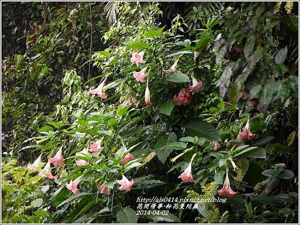 2014-04-粉花曼陀羅10.jpg