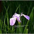 2014-04-雲山水鳶尾季13.jpg