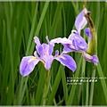 2014-04-雲山水鳶尾季32.jpg