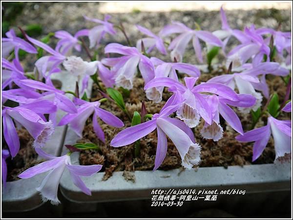 2014-04-阿里山一葉蘭1.jpg