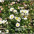 2014-04-阿里山小雛菊.jpg