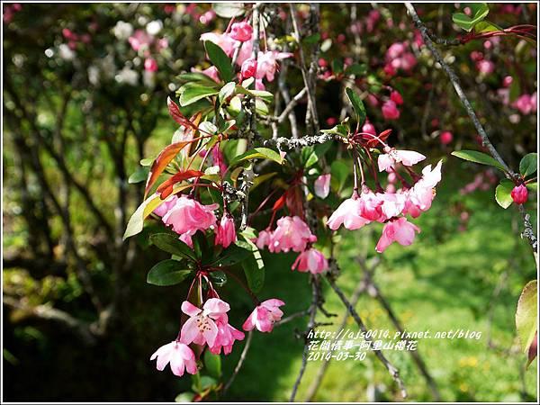2014-04-阿里山櫻花(垂絲海棠)1.jpg