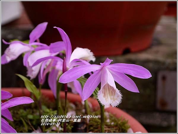 2014-04-阿里山一葉蘭2.jpg