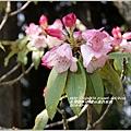2014-04-阿里山森氏杜鵑1.jpg