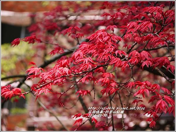 2014-04-阿里山紅楓1.jpg