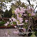 2014-04-阿里山櫻花2.jpg