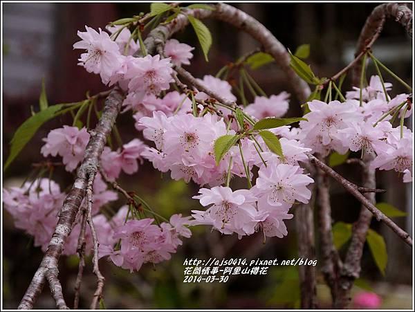 2014-04-阿里山櫻花3.jpg