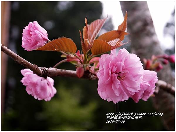 2014-04-阿里山櫻花4.jpg
