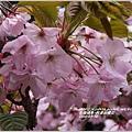 2014-04-阿里山櫻花5.jpg