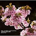 2014-04-阿里山櫻花9.jpg