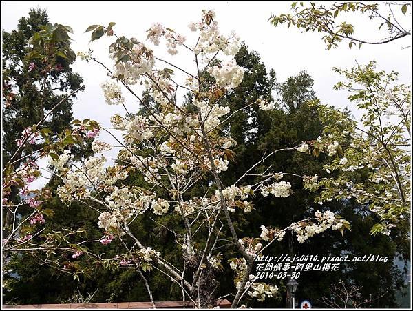 2014-04-阿里山櫻花6.jpg