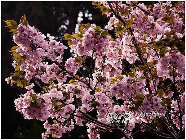2014-04-阿里山櫻花8.jpg