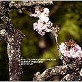 2014-04-阿里山櫻花11.jpg