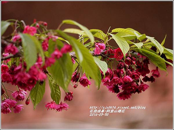 2014-04-阿里山櫻花12.jpg