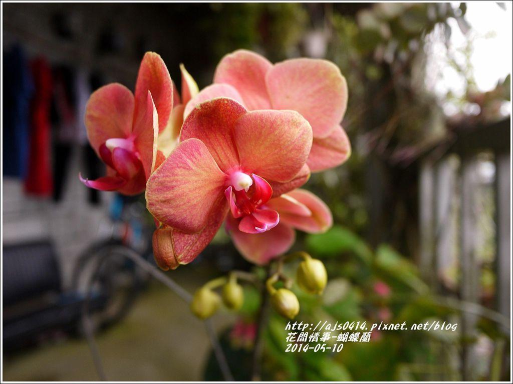 2014-05-蝴蝶蘭1.jpg