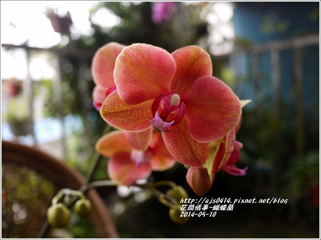 2014-05-蝴蝶蘭2.jpg