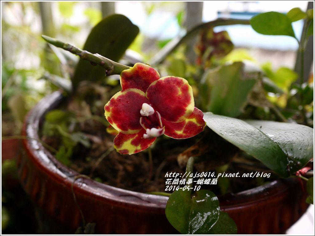 2014-05-蝴蝶蘭3.jpg