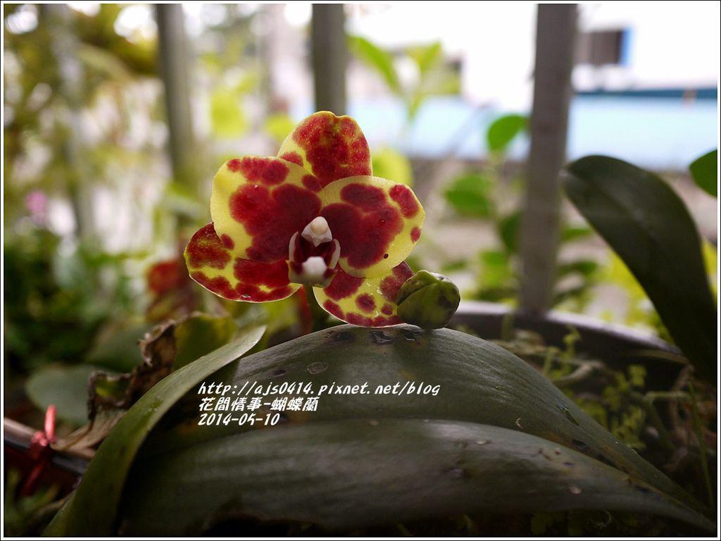 2014-05-蝴蝶蘭4.jpg