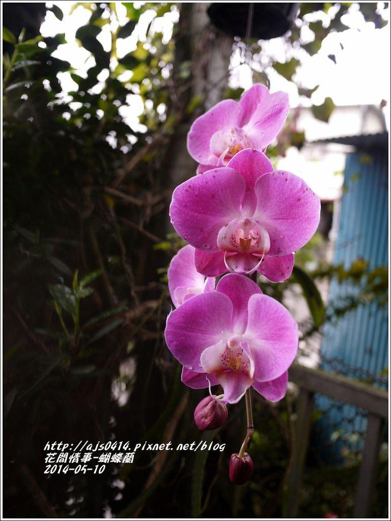 2014-05-蝴蝶蘭5.jpg