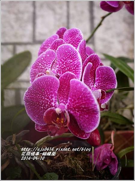 2014-05-蝴蝶蘭7.jpg