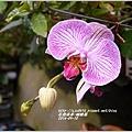 2014-05-蝴蝶蘭9.jpg