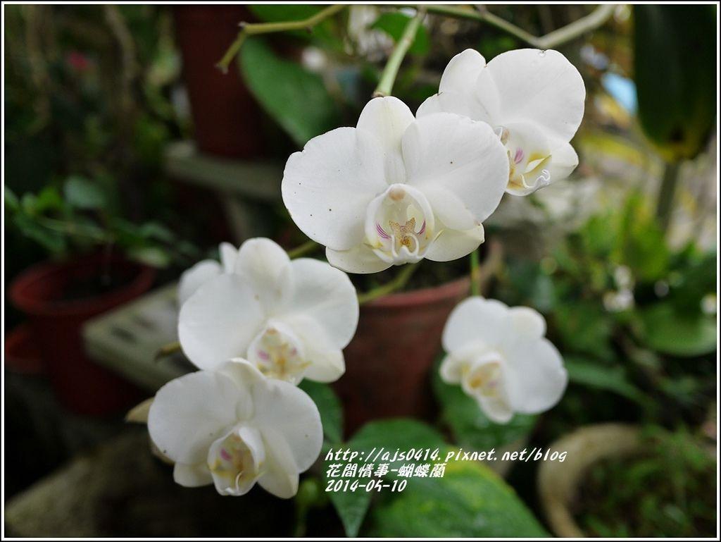 2014-05-蝴蝶蘭12.jpg