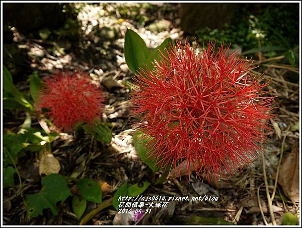 2014-05-火球花2.jpg