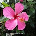 2014-05-扶桑花1.jpg