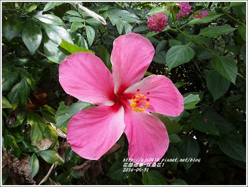 2014-05-扶桑花2.jpg