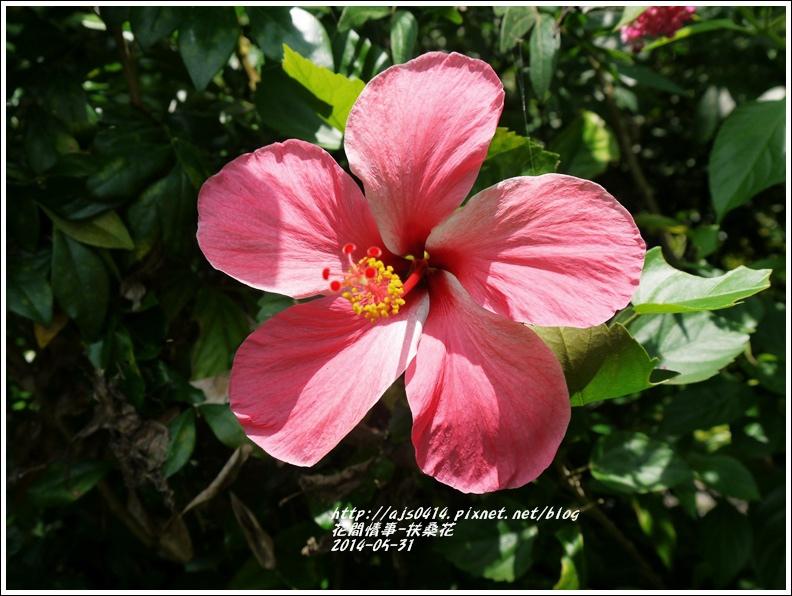 2014-05-扶桑花3.jpg