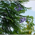 2014-06-藍花楹(瑞穗自行車道)12.jpg