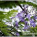 2014-06-藍花楹(瑞穗自行車道)13.jpg