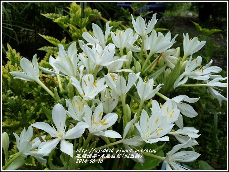 2014-06-水晶百合(假玉簪)6.jpg