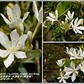 2014-06-水晶百合(假玉簪)5.jpg