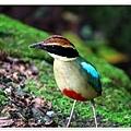 八色鳥3.jpg