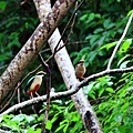 八色鳥8.jpg