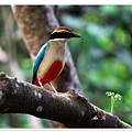 八色鳥4.jpg