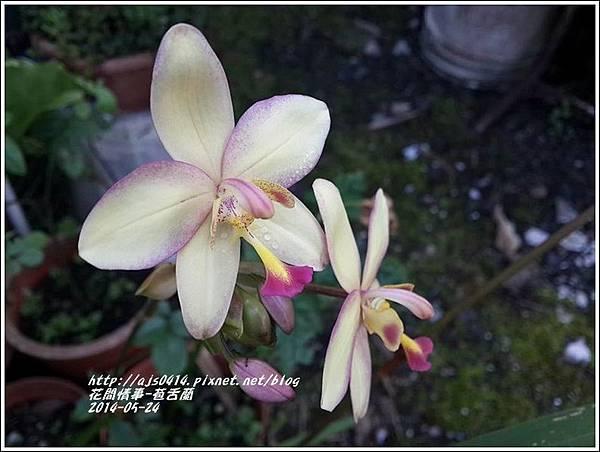 2014-06-苞舌蘭1.jpg