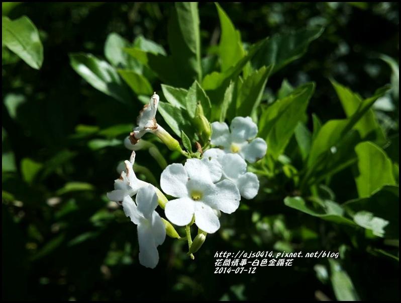 2014-07-白色金露花1.jpg