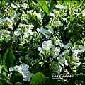 2014-07-白色金露花2.jpg
