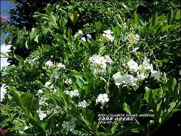 2014-07-白色金露花3.jpg