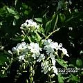 2014-07-白色金露花4.jpg