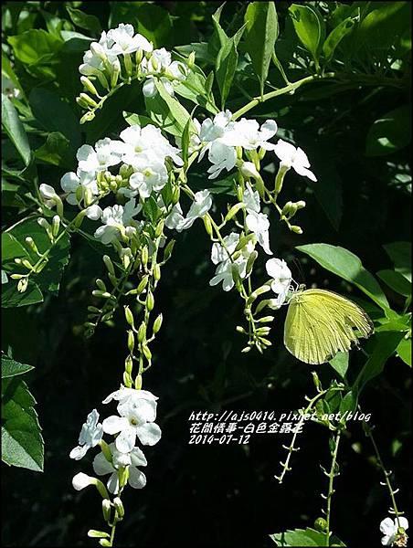 2014-07-白色金露花7.jpg